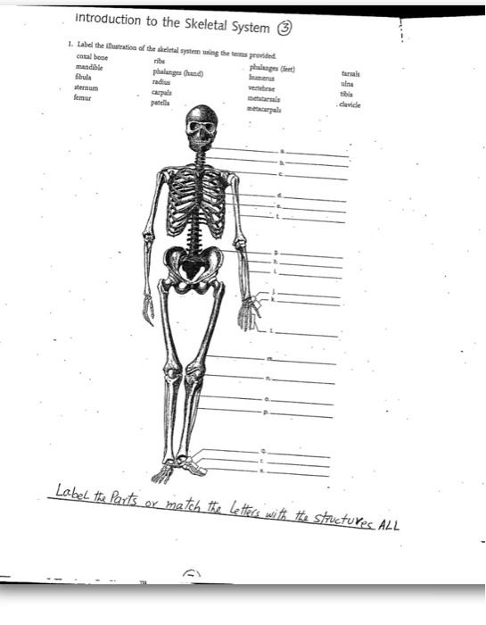 Solved Label The Illustration Of The Skeletal System Usin