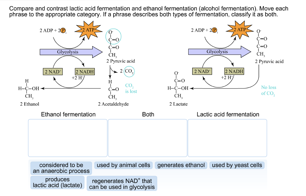 This Ilration Shows That During Glycolysis Glucose Is Broken Down Into Two Pyruvate Molecules And Figure 1 Lactic Acid Fermentation