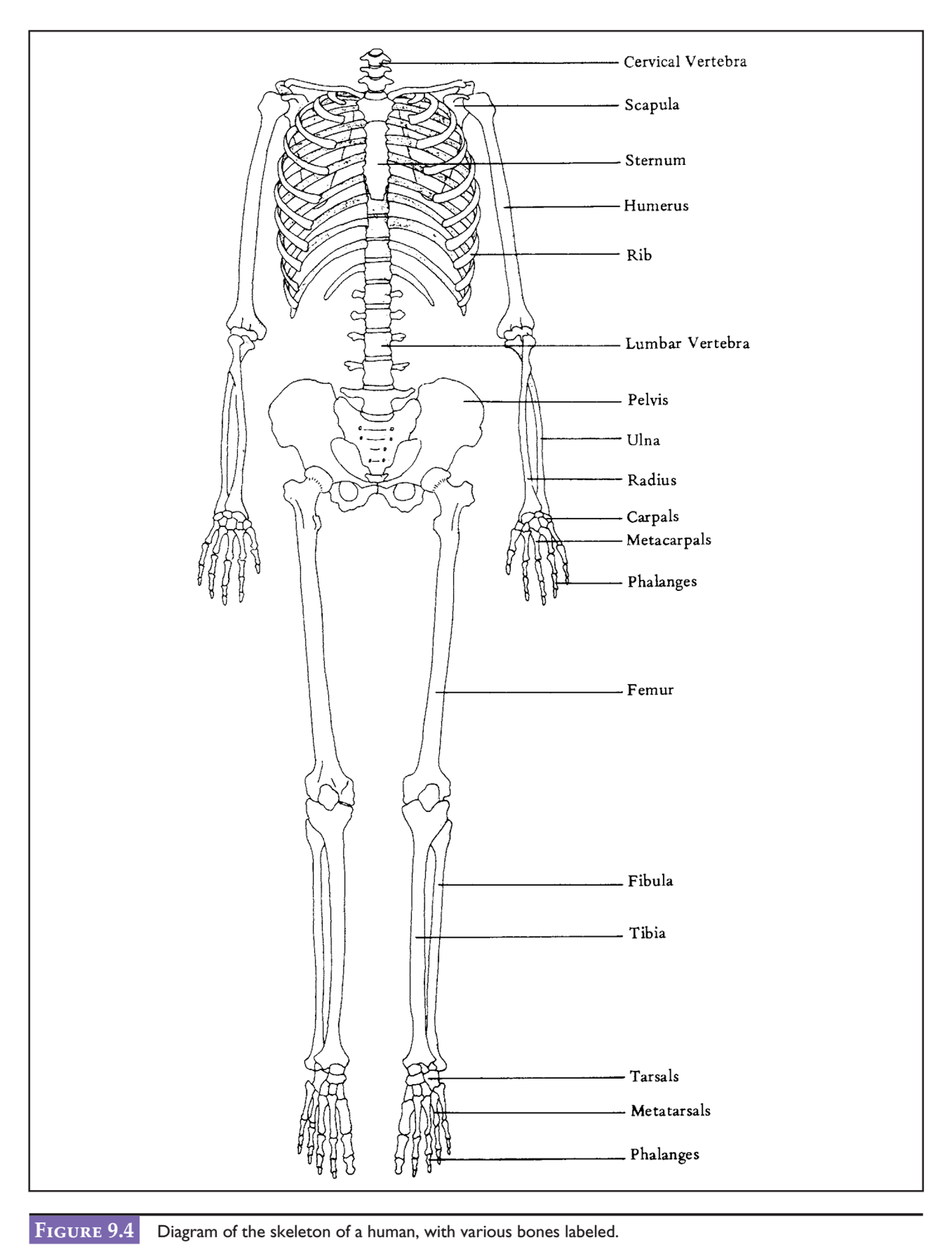 Solved After Examining The Diagram Of A Human Skeleton In