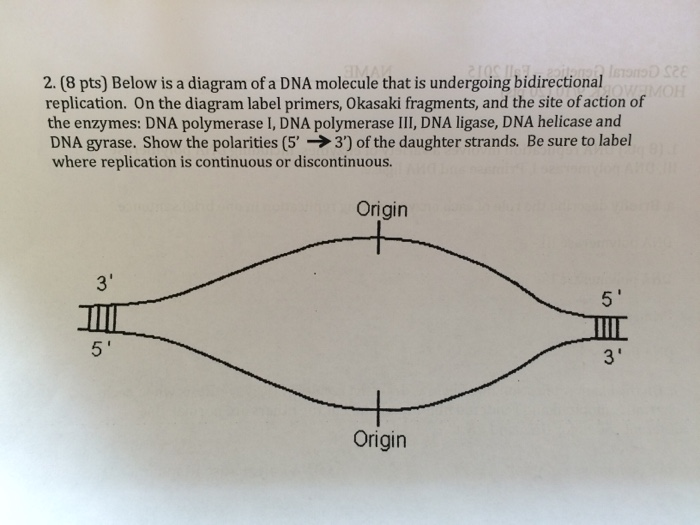 Solved Below Is A Diagram Of A Dna Molecule That Is Under