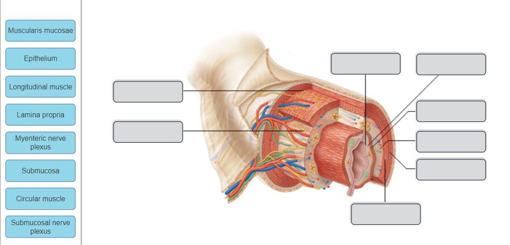 Solved  Muscularis Mucosae Epithelium Longitudinal Muscle
