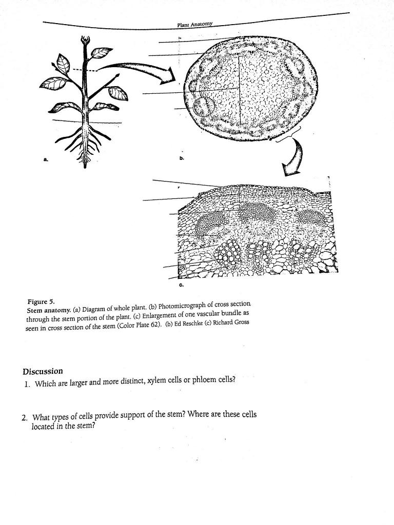 Solved: Plant Anatom B. C. Figure 5 Stem Anatomy. (a) Diag ...