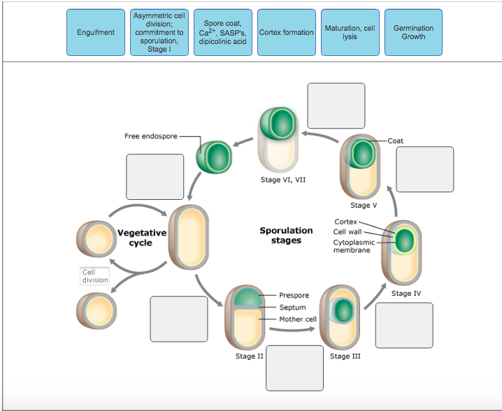 Solved The Process Of Endospore Formation Takes Place In