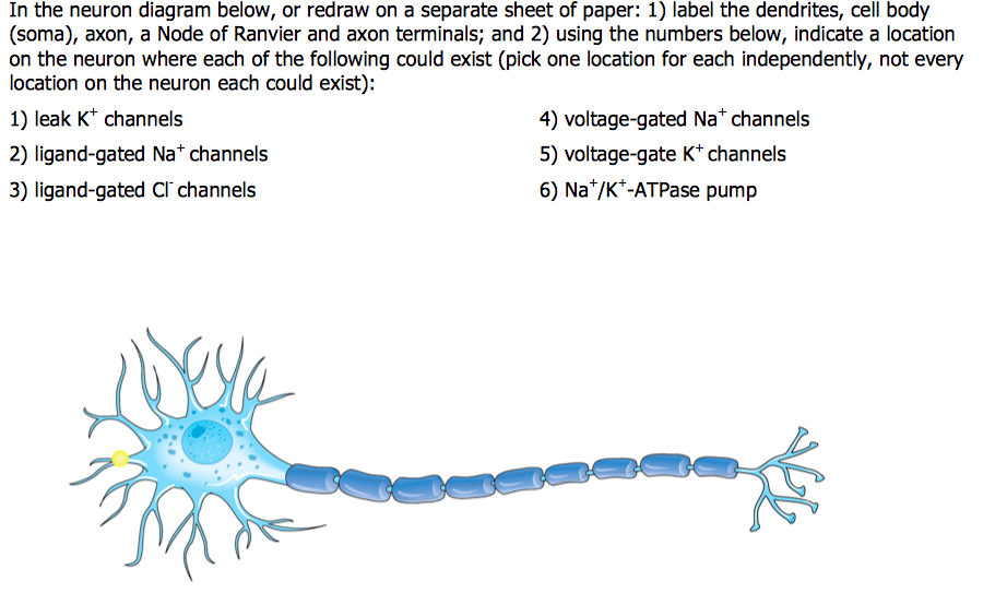 Solved in the neuron diagram below or redraw on a separa in the neuron diagram below or redraw on a separate sheet of paper 1 ccuart Gallery