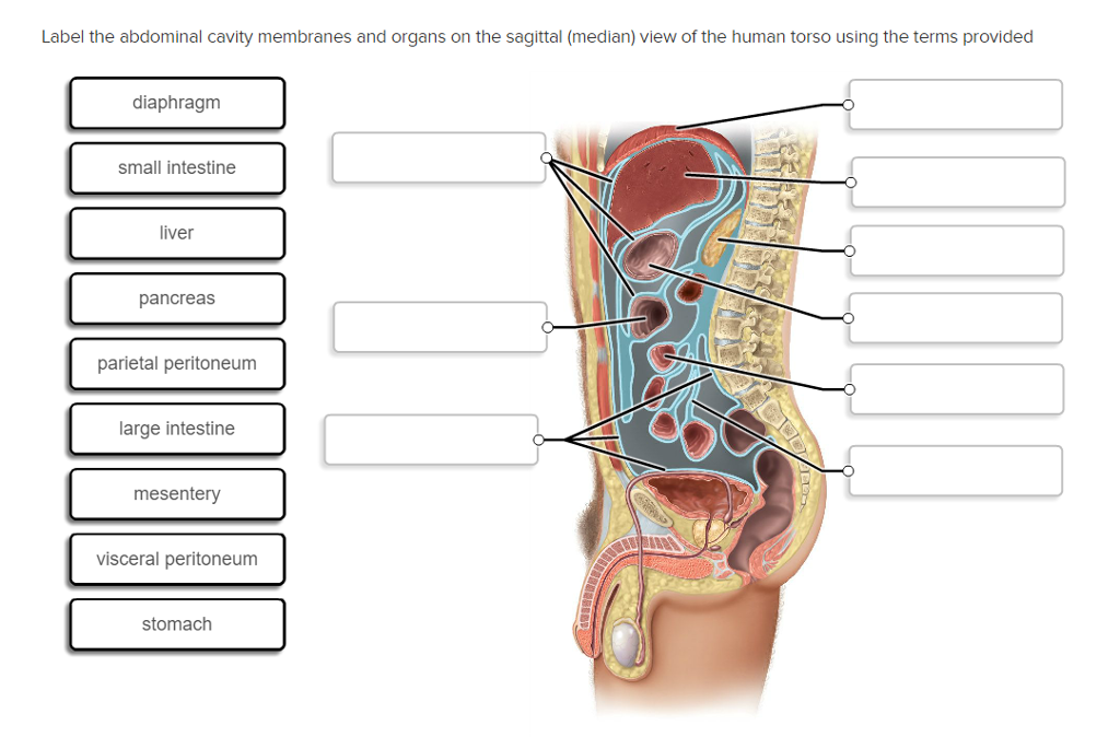 Solved: Label The Abdominal Cavity Membranes And Organs On ...