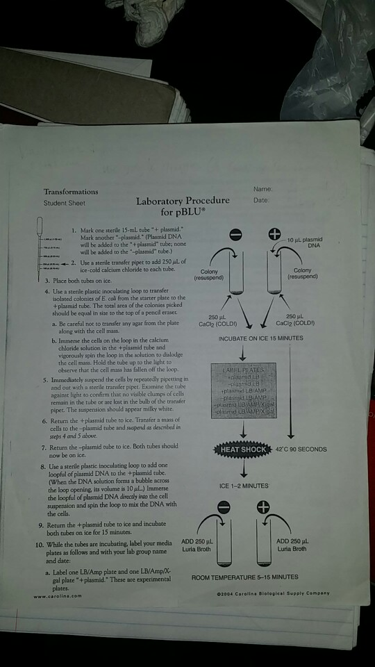 bacterial transformation lab report