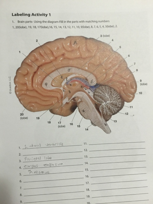 Solved: Brain Parts-Using The Diagram-Fill In The Parts Wi ...