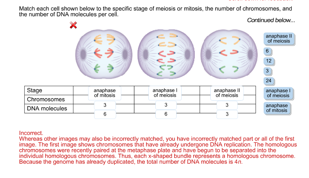 cells mitosis dna essay Similarities and differences in mitosis and meiosis - essay identical to mitosis dna replication is on topic similarities and differences in mitosis and.