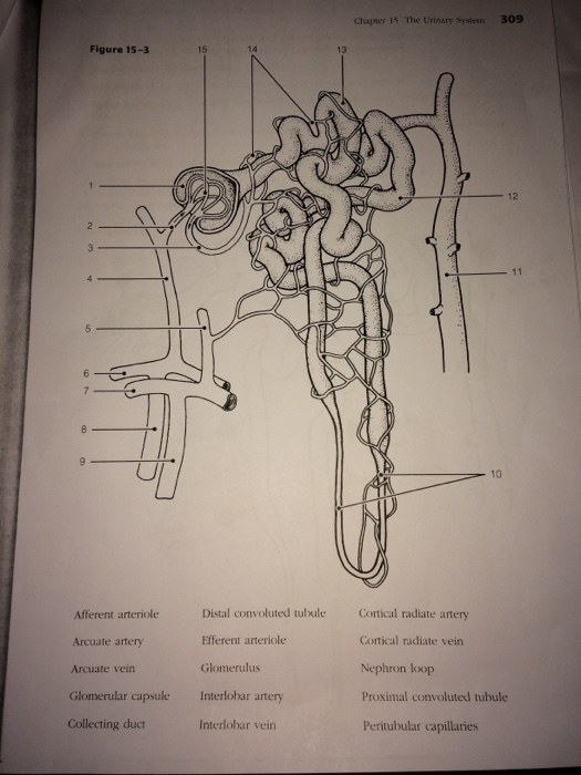 Solved 308 Anatomy Physiology Coloring Workbook 4 Circ