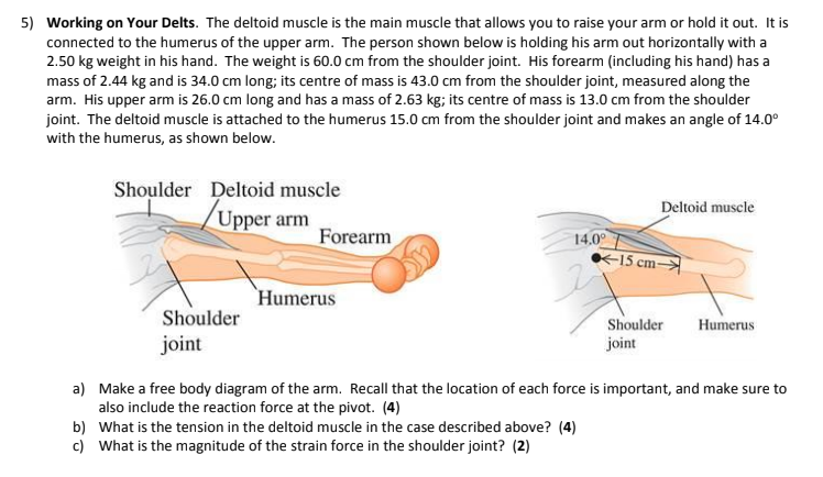 Solved 5 Working On Your Delts The Deltoid Muscle Is Th