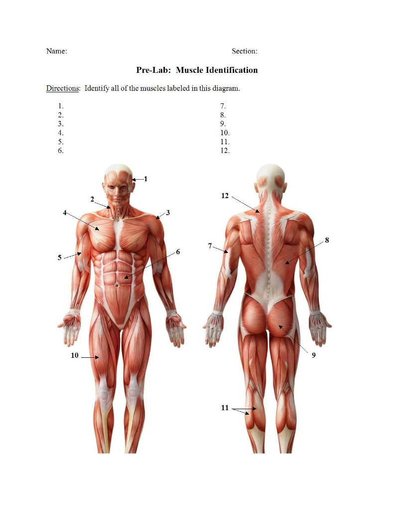 Solved Name Section Pre Lab Muscle Identification Direc