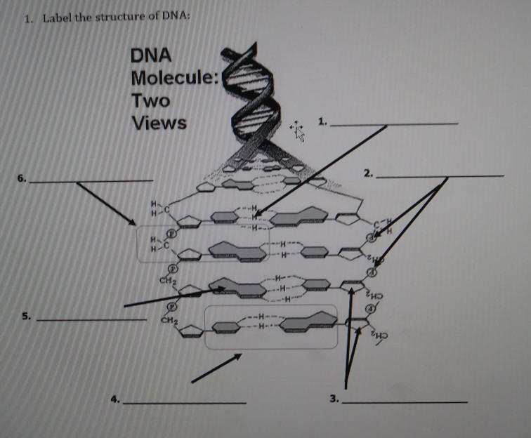 Solved 1 label the structure of dna dna molecule two vi label the structure of dna dna molecule two views 1 2 ccuart Choice Image
