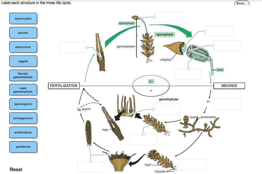 Solved Label Each Structure In The Moss Life Cycle Chegg