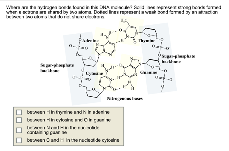 solved where are the hydrogen bonds found in this dna mol