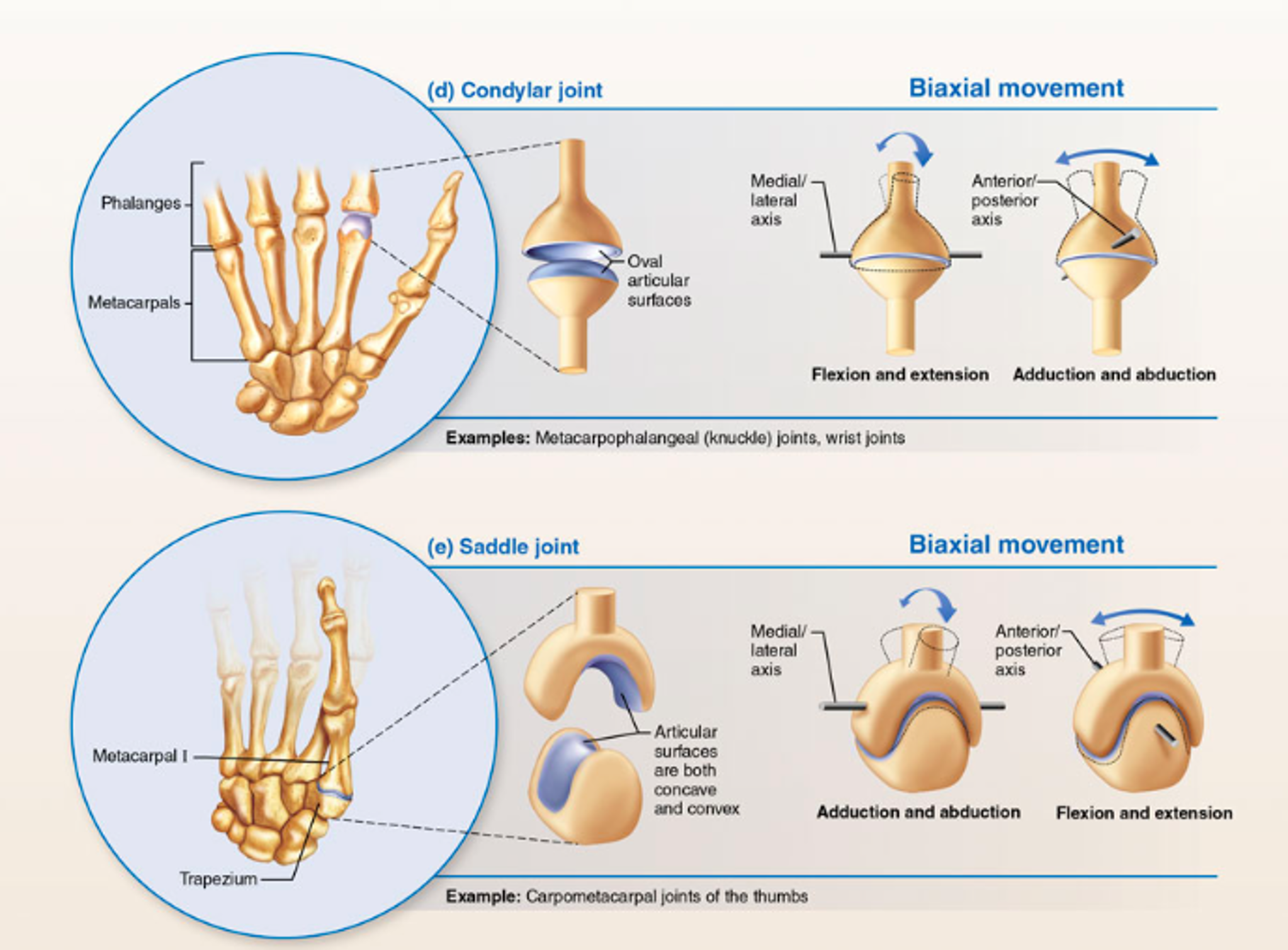 Magnificent Saddle Joints Sketch Human Anatomy Images