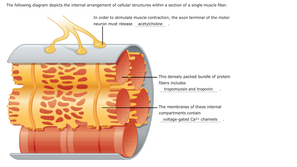 Solved  In Order To Stimulate Muscle Contraction  The Axon