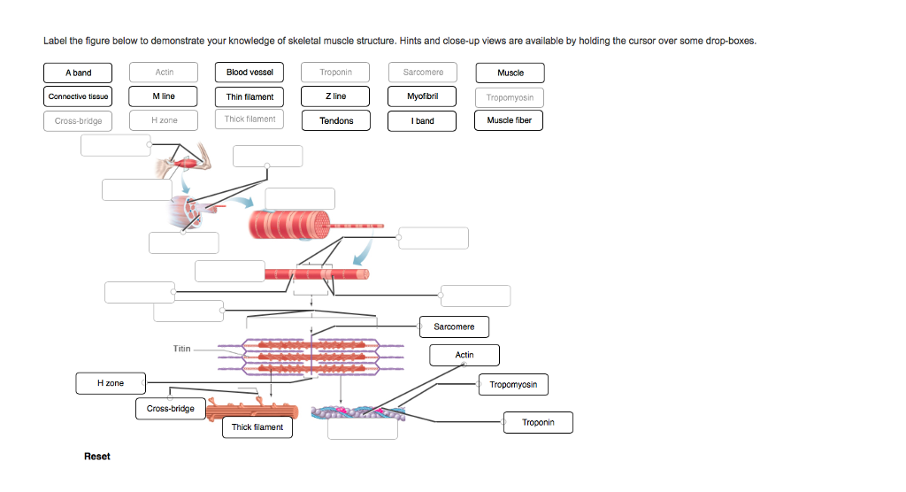 Structure Of Skeletal Muscle Diagram To Label Wiring Diagrams Control