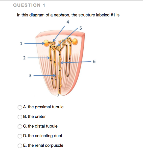 solved question in this diagram of a nephron the structu. Black Bedroom Furniture Sets. Home Design Ideas