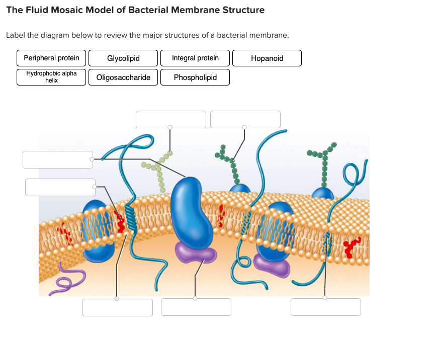 Basic bacteria structure diagram circuit connection diagram solved the fluid mosaic model of bacterial membrane struc rh chegg com prokaryotic cell diagram diagram ccuart Gallery