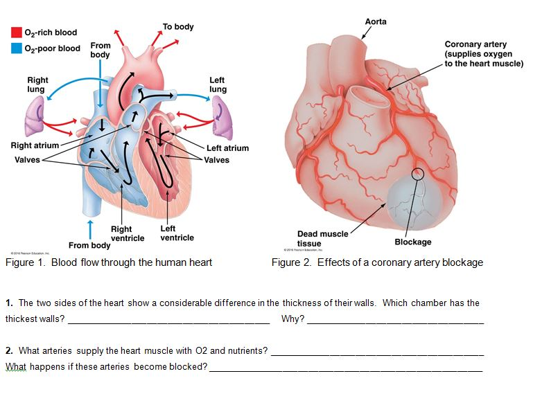 Solved aorta to body 02 rich blood 02 poor blood from bod aorta to body 02 rich blood 02 poor blood from body coronary artery ccuart Image collections