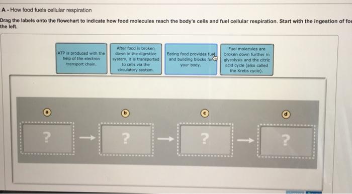Solved How Food Fuels Cellular Respiration Drag The Label