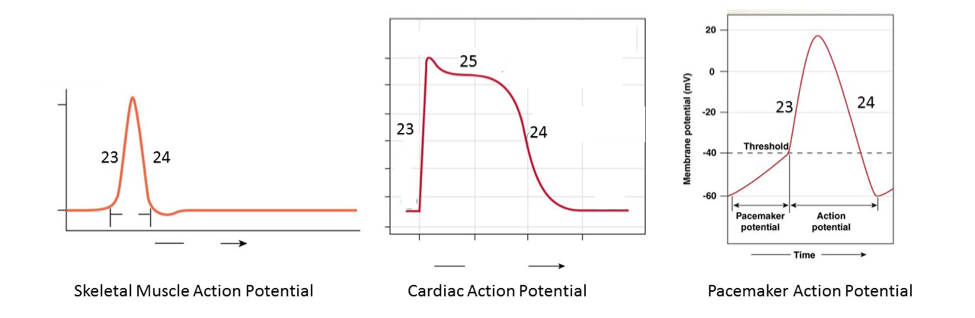 Solved 12 how are the action potentials converted to ca cardiac muscle 20 25 24 23 20 23 24 hreshold 40 23 24 60 action ccuart Choice Image