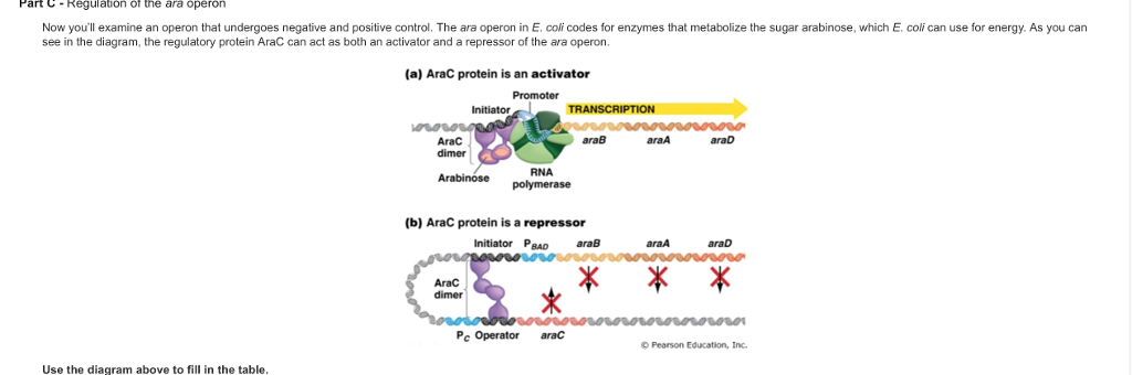 Solved Part C Regulation Of The Ara Operon Now Youll Exa