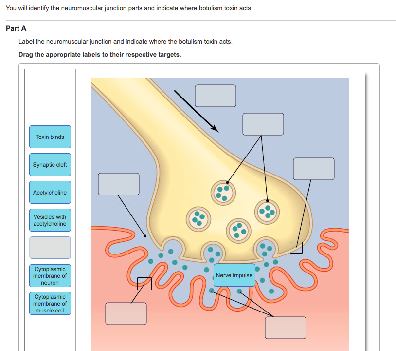 Solved You Will Identify The Neuromuscular Junction Parts