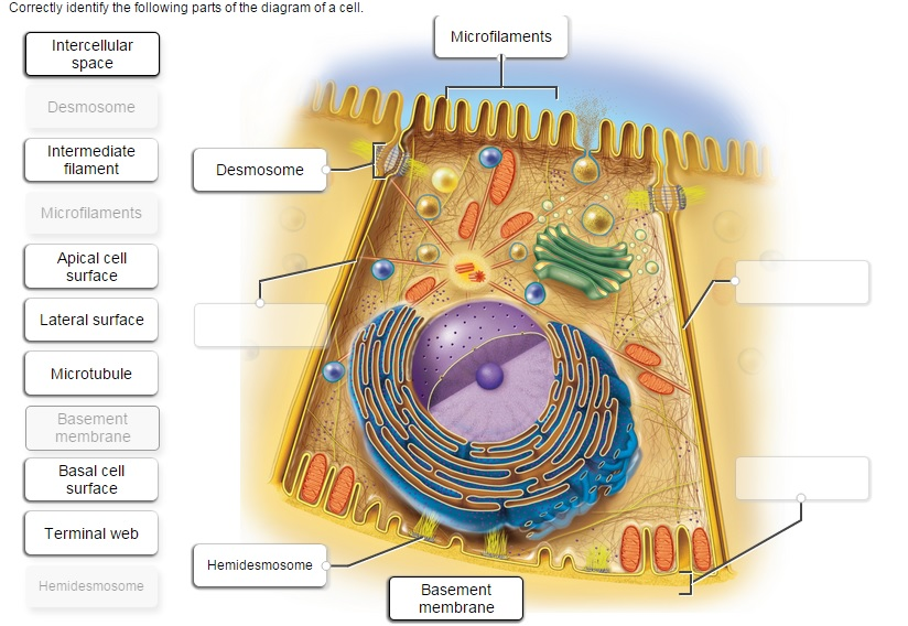 Solved correctly identify the following parts of the diag image for correctly identify the following parts of the diagram of a cell intercellular microfilaments ccuart Choice Image