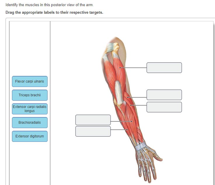 Solved: Dentify The Muscles In This Posterior View Of The