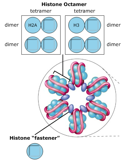 solved  the nucleosome  u0026quot bead u0026quot  is an octomer of histone pro