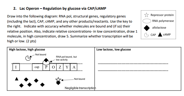 solved 2 lac operon regulation by glucose via cap camp Operon in Prokaryotes lac operon regulation by glucose via cap camp ☆ repressor protein draw
