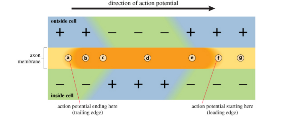Solved: Part B - Conduction Of An Action Potential Along A ...