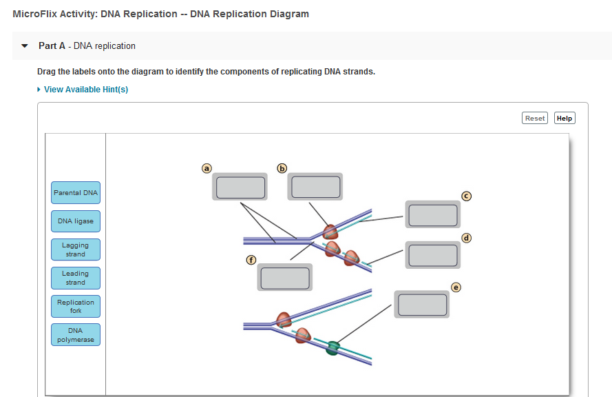 Bioflix Activity Dna Replication Dna Replication Diagram