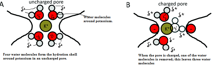 Solved Draw Three Water Molecules Forming The Hydration S