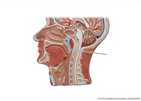 Solved: Which Structure Is Highlighted? Oropharynx Laryngo ...
