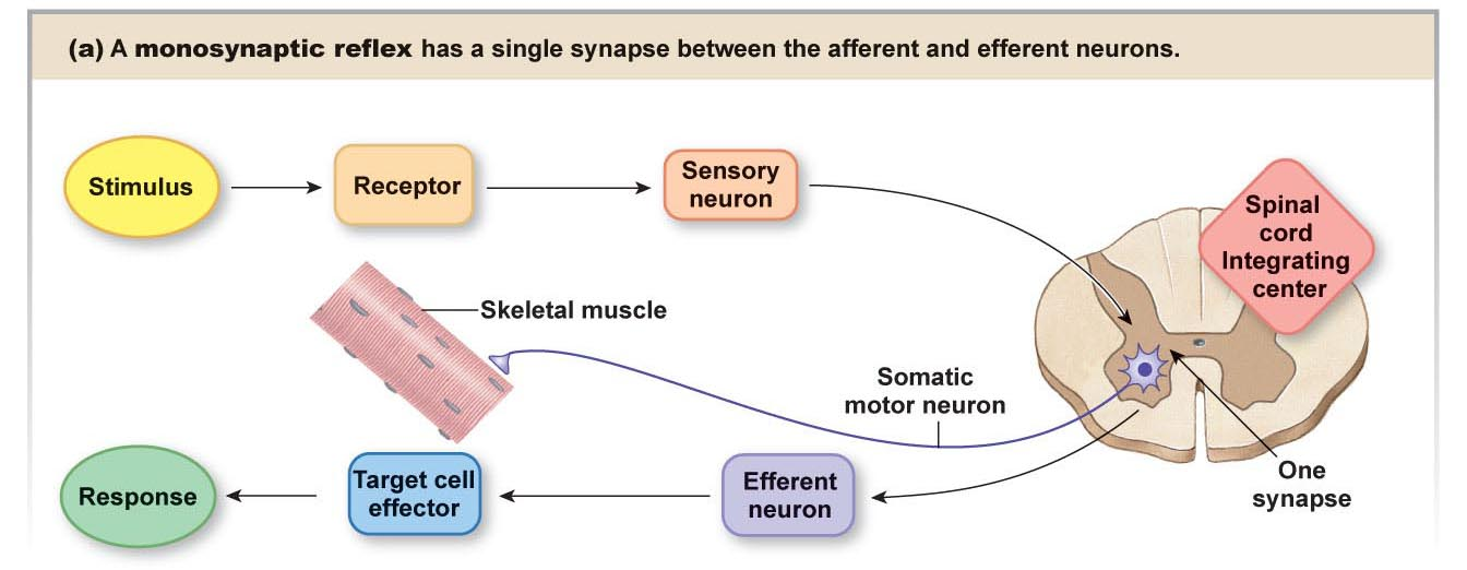 Solved in this monosynaptic pathway the sensory neuron s at each appropriate location identify the location and type of the signal that would be recorded to allow the muscle to be excited and contract ccuart Images