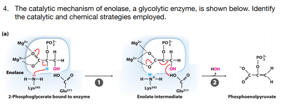 The catalytic mechanism of enolase, a glycolytic enzyme, is shown below.