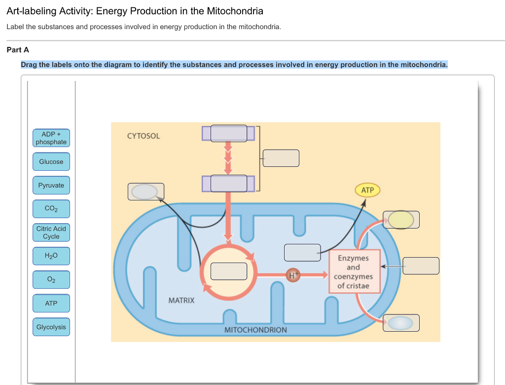 Solved: Energy Production In The Mitochondria Label The Su ...