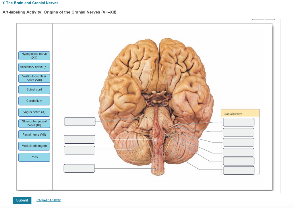 Brain And Cranial Nerves Diagram - Free Vehicle Wiring Diagrams •