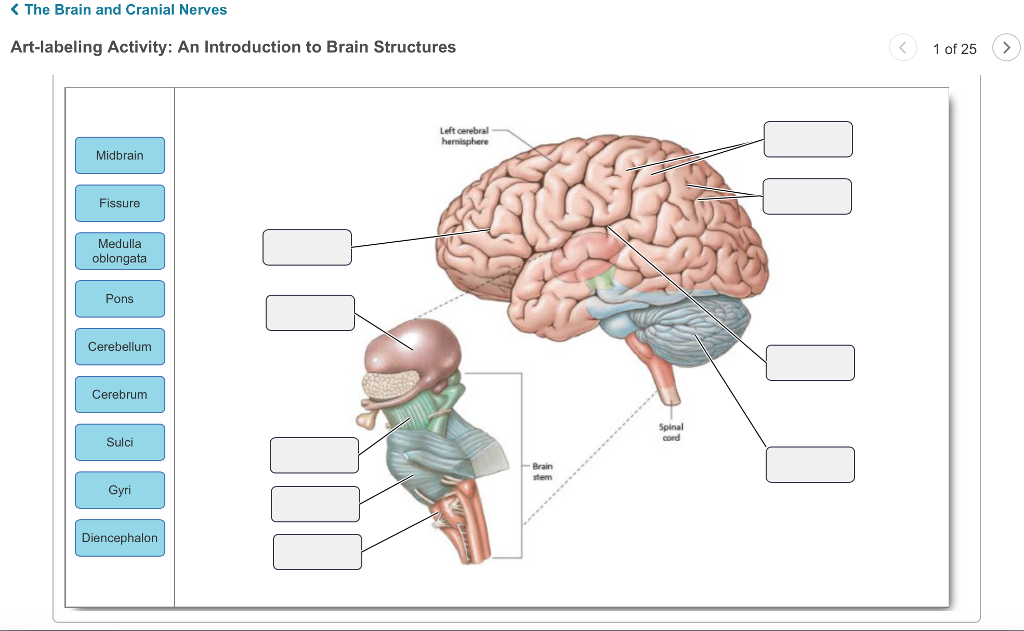 Brain Structure Diagram Labeled - Information Of Wiring Diagram •