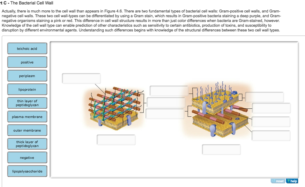 solved actually there is much more to the cell wall than
