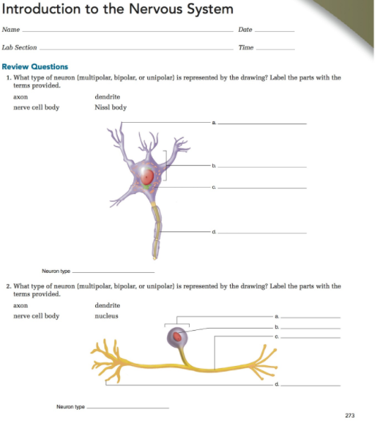 Solved what type of neuron multipolar bipolar or unipo introduction to the nervous system date lab section time review questions 1 what type of ccuart Gallery