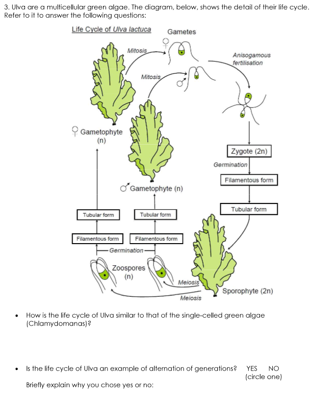 solved ulva are a multicellular green algae the diagram. Black Bedroom Furniture Sets. Home Design Ideas