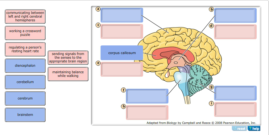 Solved Part C Structure And Function Of The Human Brain