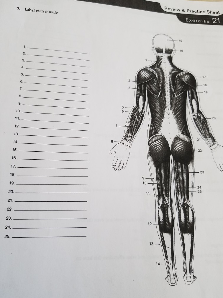 Solved Review Practice Sheet 5 Label Each Muscle Exer