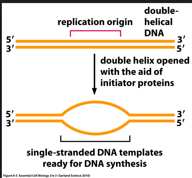 Solved i have question about dna replication which i unde double replication origin helical dna double helix opened with the aid of initiator proteins 5 3 ccuart Choice Image