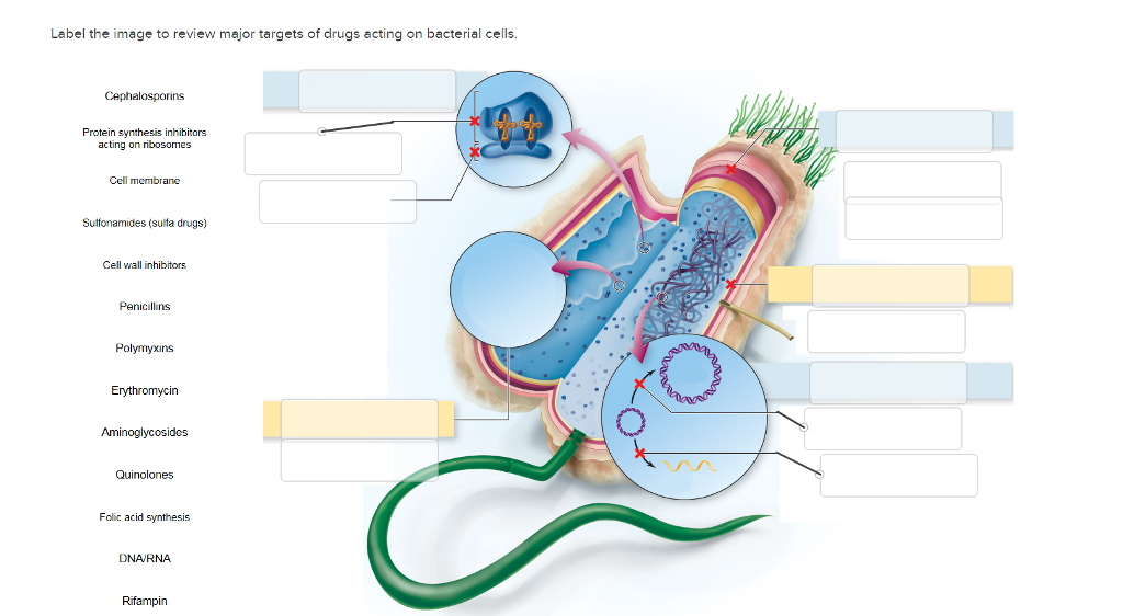 Solved label the image to review major targets of drugs a label the image to review major targets of drugs acting on bacterial cell cephalosporins protein synthesis ccuart Gallery