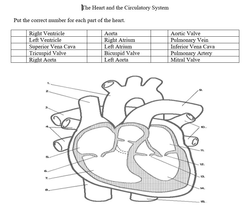 Solved the heart and the circulatory system put the corre question the heart and the circulatory system put the correct number for each part of the heart right vent ccuart Images