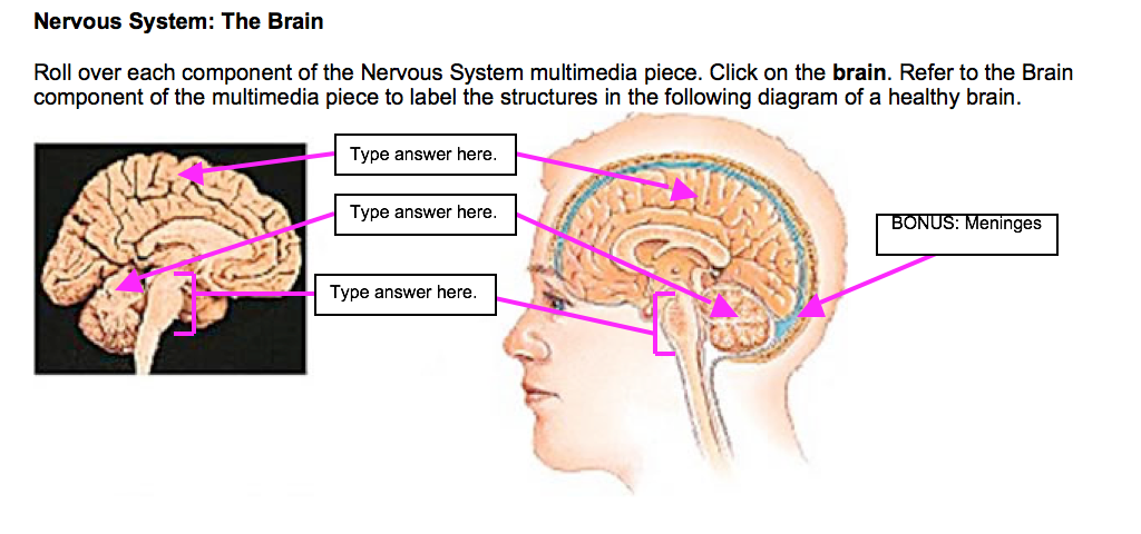Solved Nervous System The Brain Roll Over Each Component